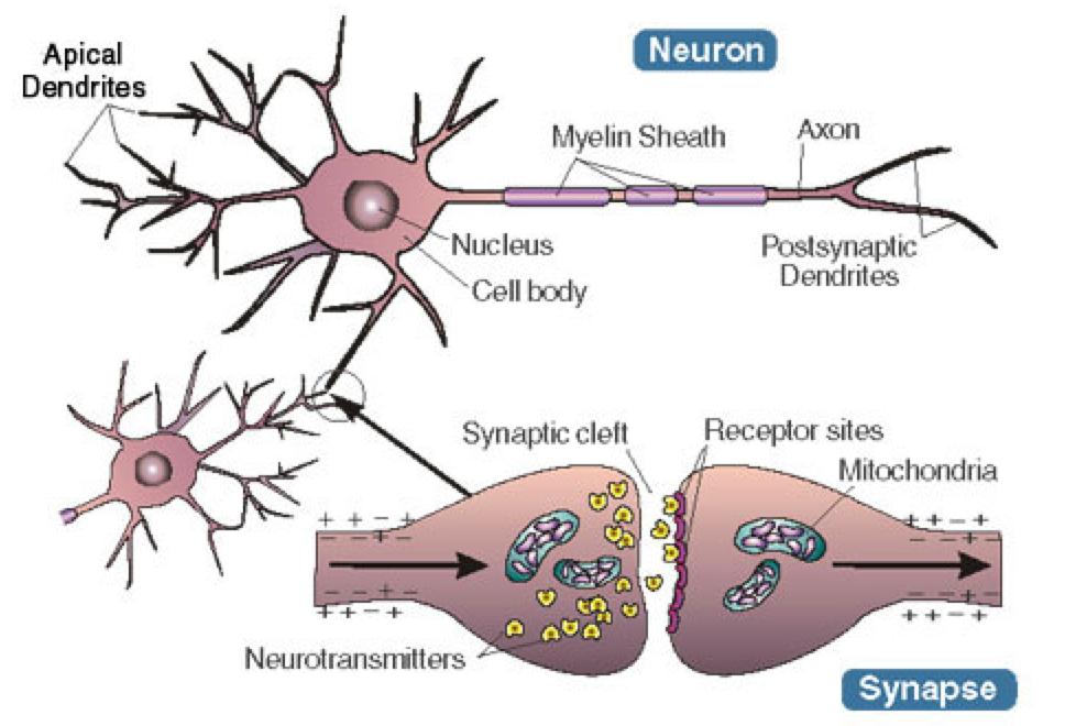 Huperzine A - Chất tăng cường dẫn truyền thần kinh 1